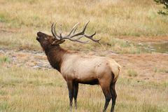 Elk. Inside grass field in Yellowstone NP Royalty Free Stock Photo
