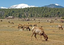 Elk. Wild elk eating grass in a field, with snow in background Royalty Free Stock Photo