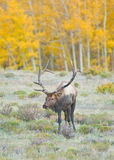 Elk Royalty Free Stock Image