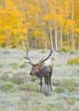 Elk. A bull elk in fall colors in Colorado Royalty Free Stock Image
