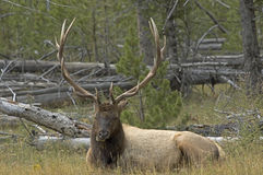 Elk. Bull elk photographed in Yellowstone Royalty Free Stock Photos