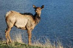 Elk. A wild elk by the lake Royalty Free Stock Photo