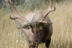 Elk. Bull elk with bush tangled in antlers Royalty Free Stock Photos