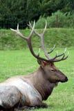 Elk Royalty Free Stock Images