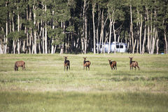 Elk and Airstream on Hastings Mesa near Ridgway, Colorado, USA stock images