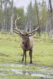 Elk in Alaska Stock Image