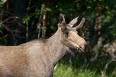 Elk (Alces alces). Royalty Free Stock Photography