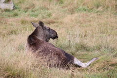 An elk (Alces alces) lying in the grass Stock Photography