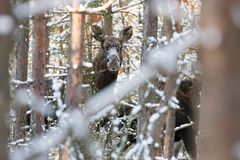Elk  Alces Alces  In The Winter Forest. Female Moose  Eurasian Elk In Forest Among The Trees. The Muzzle Of An Adult Moose Amo. Ng The Winter Snow-Covered Trees Stock Photo