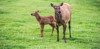 Elk And Newborn Calf Royalty Free Stock Photo