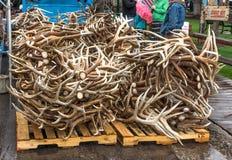 Elk antler auction. Stock Image