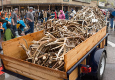 Elk antler auction. A trailer full of Elk antler's at the  2013 ELKFEST auction  in Jackson Hole, Wyoming Royalty Free Stock Photo