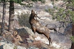 Elk with Antlers. A wild Bull elk with antlers standing in the snow Royalty Free Stock Image
