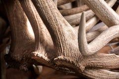 Elk Antlers Background Pedicles Detail. Elk Antlers Textured Background Showing Pedicles Detail stock photo