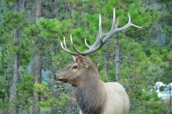 Elk antlers Royalty Free Stock Photography