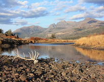 Elk antlers - yellowstone np royalty free stock photo