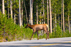 Elk arossing the road in Yellowstone National Park Stock Image