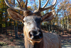 Elk in autumn Stock Photos