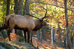 Elk in autumn. A big elk (Cervus canadensis) standing in a colorfull autumn's forest Stock Photos
