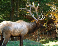 Elk in autumn Royalty Free Stock Photography
