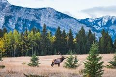 Elk in autumn, Banff National Park. Detail shot stock photo