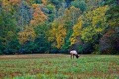 Elk in autumn field Royalty Free Stock Photo