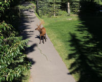 Elk in Banff Central Park Royalty Free Stock Photography