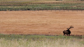 An elk in a brown and green meadow. A single Elk in a pasture with lots of area for text. The Elk come down to the meadow in the summer for water royalty free stock image