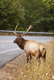 Elk Buck. Sharing the road: elk is going to cross the road Royalty Free Stock Photo