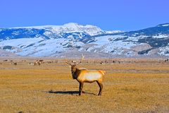 Elk Buck in Elk Refuge, Jackson Hole Royalty Free Stock Image