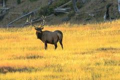 Elk Buck Yellowstone stock photography