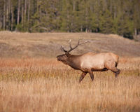 Elk Bugling Stock Photography