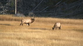 Elk bugling stock video footage