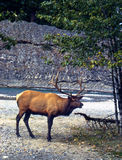 Elk bugling by stream  Royalty Free Stock Photo