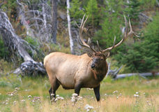 Elk bull Stock Photography
