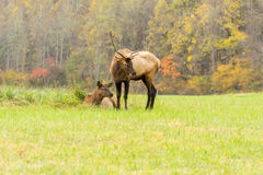 Elk Bull and an Elk Cow During the Rut Mating Season Stock Photo