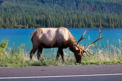 A elk bull feeding on the very edge of a highway.  Royalty Free Stock Images