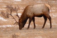 Elk Bull Feeding In Winter Field Royalty Free Stock Photography