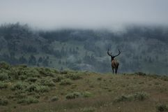 Elk bull on foggy morning. Wild elk bull into the wilderness Stock Photo
