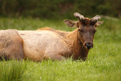 Elk Bull Resting. A Roosevelt Elk bull sleeping in northern California Royalty Free Stock Photography
