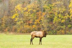 Elk Bull Standing in a Mountain Field in Fall Stock Photo
