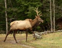 Elk Bull Walking royalty free stock photos
