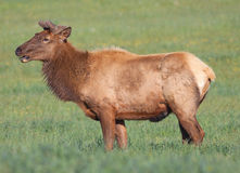 Elk. Bull Elk or Wapiti (Cervus canadensis) in a field Royalty Free Stock Photos