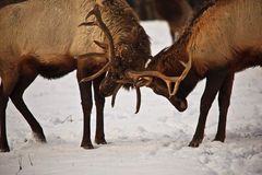 Elk butting antlers royalty free stock photos