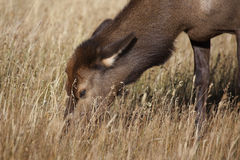 Elk Calf  Stock Image