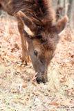 Elk calf Stock Image