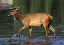 Elk Calf in the Bow Stock Image