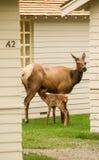 Elk Calf Breakfast Stock Photo