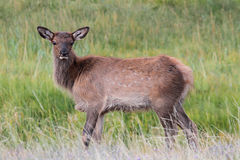 Elk calf (Cervus canadensis) Royalty Free Stock Images
