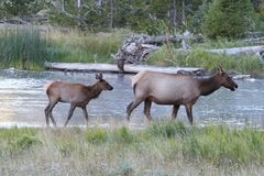 Elk calf Cervus canadensis with mother Royalty Free Stock Image